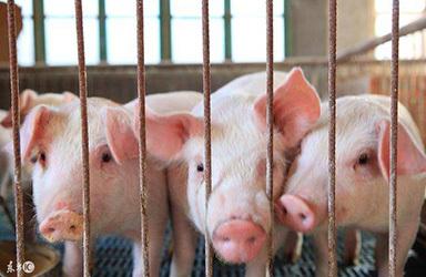 广东上半年生猪出栏1776.31万头 增长36.9%