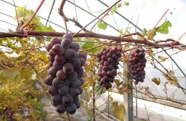《我国葡萄品种登记现状及种业发展情况分析》